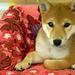 柴犬:Shiba Inu Hiro 浩 ? Video 1