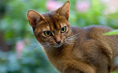 Nike growing up 2 (peter_hasselbom) Tags: autumn portrait cats fall cat garden outside 50mm daylight f14 usual flowerbed abyssinian softlight ruddy cc100 bokhe bestofcats