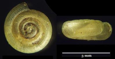 helicodiscus