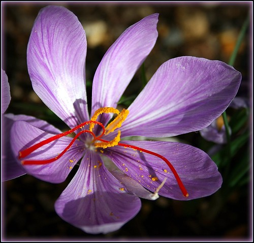 Saffron Medicinal Properties: Stimulates Menstruation and Works ...