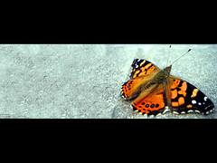 metamorphosis... (Carlos Alberto Tellera) Tags: naturaleza macro butterfly fb diego sueos cambio vida alas poesia mariposa destino capullo marino dolor metamorphosis texto insecto cambiar sufrimiento prosa metamorfosis unlp mutar dondeseescondeelsol dam80