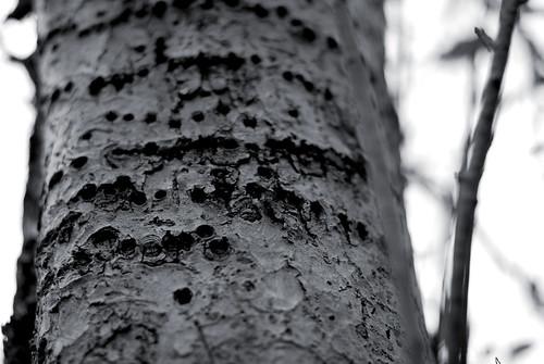 crabapple tree 4
