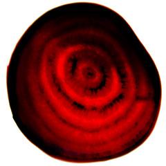 Beet texture (Ciro Boro - photo) Tags: light texture textura luz backlight contraluz back backlit root beet contra beterraba acrilico plexy