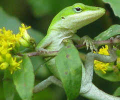 baby Green Anole just hanging around (Vicki's Nature) Tags: wild green yard canon georgia lizard anole greenanole s5 potofgold takeabow digitalcameraclub irresistiblebeauty natureoutpost goldstaraward vickisnature beautifulworldchallenges 100commentgroup goldstarawardcontest40