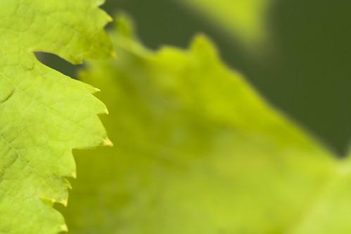 Fotografía de unas hojas verdes con las puntas amarilleadas
