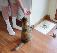 """CHEEZBURGER LATER, KITTEH NIBBLES NAO!"" Gracie 7 July 2008 004b crop (edgarandron - Busy!) Tags: cats cute cat gracie tabby treats kitty tortoiseshell kitties tortie torbie kittynibbles"
