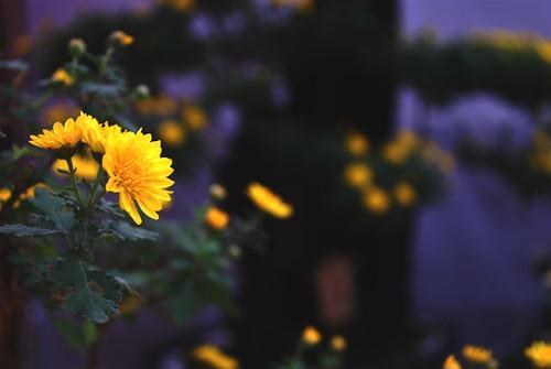 bonsai chrysanthemum 3