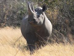 Black Rhino at Mombo (Moremi game reserve) (Filecat) Tags: africa wildlife safari botswana moremi blackrhino mombo deltaokavango specanimal rhinosinthewild
