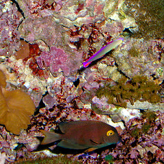 BL201 Coral (listentoreason) Tags: usa fish nature animal coral museum america aquarium newjersey unitedstates camden places olympus animalia invertebrate vertebrate camdenaquarium cnidaria anthozoa adventureaquarium chordate chordata osteichthyes actinopterygii score30 olympusc4040z c4040z bonyfish rayfinnedfish actinopterygius