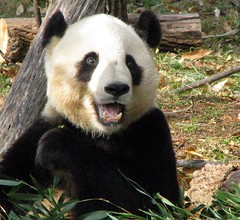 Oh Happy Day! (RoxandaBear) Tags: show winter december eating bamboo tai dcist nationalzoo 2008 birthdaycard 231 taishan 12908 impressedbeauty yard1 itsazoooutthere