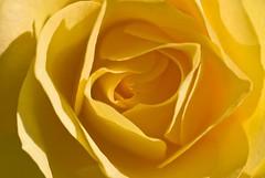 to arsh (summerrunner) Tags: flower floral nikon taipei 60mm nikkor 生活 arsh d80