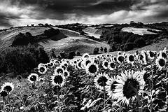 (Effe.Effe) Tags: bw countryside valle hills campagna valley sunflowers marche senigallia tournesol girasol colline girasoli vallata bwdreams hlianthe sonnenblume