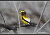 Evening Grosbeak (Footguy00) Tags: flickr idaho osprey flicker driggs northernflicker d90 eveninggrosbeak nikon703000mm