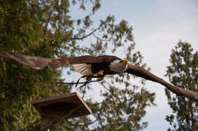 Manwe the Bald eagle