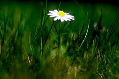 Paquerette ou tableau d'artiste (Fabisa00) Tags: flower color macro fleur up close pentax k7 4080mm 28~4