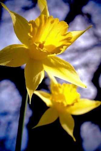 Spring Shine - yellow daffodils in Stayton Oregon