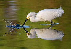 Snowy Egret (copeg) Tags: california morning mountain lake reflection bird spring fishing bravo view searchthebest snowy wildlife birding shoreline feathers symmetry splash egret spear naturesfinest egretta blueribbonwinner thula specanimal animalkingdomelite mywinners impressedbeauty avianexcellence citrit