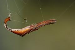 Arachnura melanura (=spurdog=) Tags: macro nature spider taiwan araneidae scorpionspider tailedspider arachnuramelanura 黑尾曳尾蛛