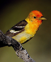 Western Tanager (truan) Tags: red orange bird gold colorado wildlife feather soe breathtaking tanager pirangaludoviciana coloradowildlife avianexcellence betterthangood goldwildlife wingbars