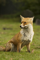IMG_6181 (George Stylianou) Tags: wild portrait nature animal animals close wildlife sigma telephoto fox tele 28 f28 120300 120300mm