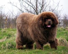 Kramer (billnbenj) Tags: dog green grass newfoundland cumbria barrow gentlegiant anawesomeshot brownnewfoundland jalalspagesanimalkingdom