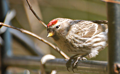 Common Redpoll - Cute little Redpoll stopping in for a visit (blmiers2) Tags: red newyork nature birds geotagged wildlife avian redpoll fringillidae passeriformes backyardbirds carduelisflammea commonredpoll redpolls birdphoto commonredpolls nikond40x redpollphoto redpollphotos commonredpollphotos redpollpictures blm18 blmiers2