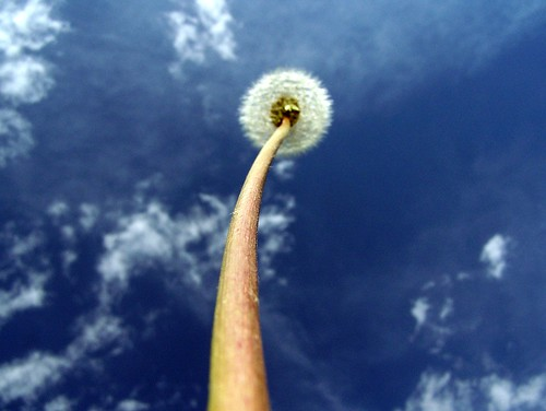 ten-foot tall dandelion
