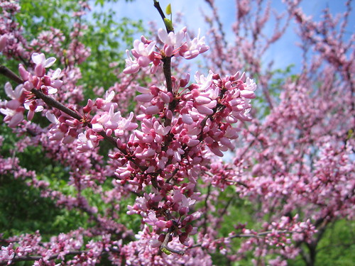blossoms and us 008