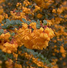 'Look at me!' Berberis. (penwren) Tags: flowers orange barberry berberis catchycoloursorange firstquality darwinii berberiaciae