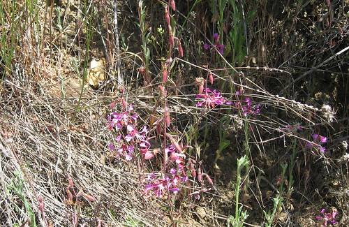 orchid-like wildflowers