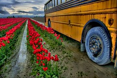 Red & Yellow (papalars) Tags: flowers red sky flower reflection bus yellow clouds contrast wow wonderful religious washington amazing interesting perfect worship tulips mosaic profile best reflective skagit schoolbus digitalrebelxt powerpoint hdr skagitvalley tulipfestival contemplation biblicalthemes superbmasterpiece wowiekazowie papalars a3b theperfectphotographer andrewelarsen