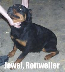 Jewel (muslovedogs) Tags: dogs rottweiler sage jewel zeusoffspring