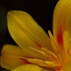 Garden Tulip (Kirsten M Lentoft) Tags: flower tulip themoulinrouge firstquality momse2600 overtheexcellence goldstaraward multimegashot magicdonkeysbest kirstenmlentoft magicunicornverybest