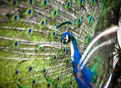 Full train (habaneros) Tags: bird eyes dof sony feathers peacock habaneros a700