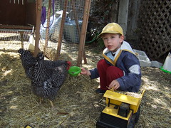 Giving the chickens a treat (terriem) Tags: pets chickens ben trouble bubble hens