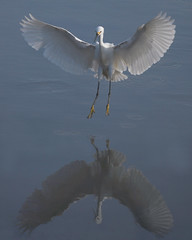 Landing mirror (wolfpix) Tags: bird heron birds reflections nikon birding pssaro uccelli pajaro aus vgel egret birdwatching soe oiseau breathtaking gara vogel garas herons oiseaux snowyegret egrets hron uccello  fglar zog fgel lintu ibon garza ptaki egrettathula ptci    americaamerica garzas nikond60 utatafeature golddragon  aigretteneigeuse abigfave shieldofexcellence goldmedalwinner superaplus aplusphoto flickrhappy amazingshots avianexcellence birdsphotos hrons  thegoldendreams goldstaraward worldnaturewildlifecloseup fotocompetitionbronze 100commentgroup awchosenones thewonderfulworldofbirds artofimages lintujen bestcapturesaoi naturesbeautifulphotography  awardreflections shpendve