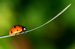 End of the line (kees straver (will be back online soon friends)) Tags: red macro insects ladybugs diemen lieveheersbeestje mywinners keesstraver