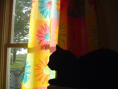 cat chihuahua