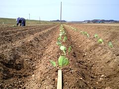 キャベツの苗定植