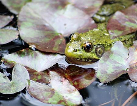 Frog Prince PAD #1163