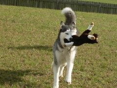 My toy! (save_bigcats) Tags: horse dog bay big husky large chestnut thoroughbred