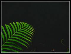 Reaching-out (Midhun Manmadhan) Tags: fern green composition kerala reachingout canonpowershots3is