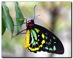 Neon Colors (Fraggle Red) Tags: green nature yellow butterfly florida aviary brightcolors butterflyworld neoncolors coconutcreek commonbirdwing troideshelena canonef100mmf28usmmacro vivdcolors tradewindspark anawesomeshot specinsect browardco life~asiseeit spectacularmacro