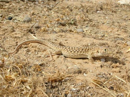 acanthodactylus_beershebensis