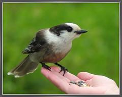 Gray Jay (byard) Tags: bird nh pittsburg grayjay photofaceoffwinner pfogold k20d0464grja