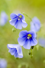 bluebells (Magaziner) Tags: blue macro bells 50mm pentax sigma canyon idaho valley wildflowers teton f28 k100d
