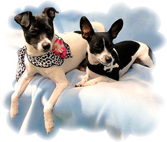 More of Bo & Lucy (chippewabear) Tags: chien dogs lucy princess pirate bo ratterrier rattie piratedog piratedogs dogsdressedlikepirates