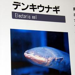 electoric [sic] eel () #1830 (Nemo's great uncle) Tags: electric geotagged tokyo engrish  eel  electriceel  tky shinagawaaquarium   shinagawaku electrophorus electricus electrophoruselectricus   geo:lat=35588591 geo:lon=139737382