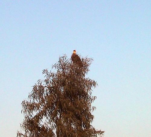 carancho en eucalipto
