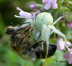 Smrtonosni objem... (natalija2006) Tags: macro nature insect spider bee slovenia pajek natalija narava čebela top20flowersandbugs golddragon žuželka ahqmacro damniwishidtakenthat npisec